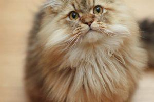 モフモフ猫の王様ならチンチラ!チンチラゴールデンはタヌキそっくり!?