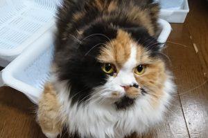猫トイレにおすすめ!百円ショップで猫のシステムトイレ|トイレチップ・シート・消毒液おすすめ