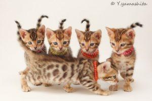 ベンガル猫はヒョウ柄が素敵なだけじゃない! とっても人なつこくて社交的な性格