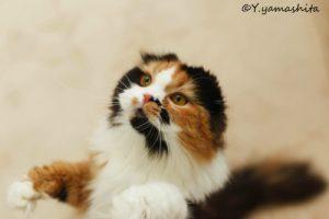 スコティッシュフォールドの性格と可愛すぎる子猫画像!!