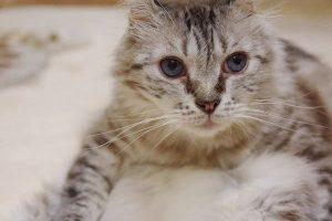 耳がクルっと可愛い猫アメリカンカール。初心者でも飼いやすい性格で賢い