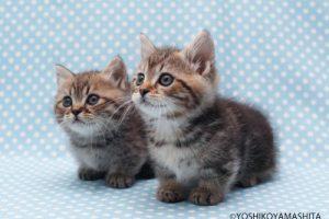 短足だから可愛い!!人気のマンチカン猫紹介と子猫の画像・動画