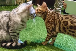 超かわいいベンガル猫やフクロウと触れ合える【原宿乃ヒョウ猫の森・フクロウの森】