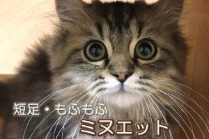 短足もふもふのミヌエットは、成猫になっても甘えん坊